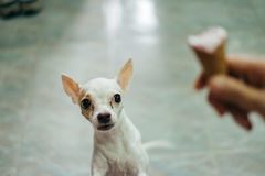 El perro blanco de la chihuahua asustó del cono de helado Fotografía de archivo