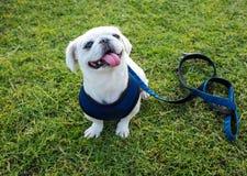 El perro blanco del barro amasado con el correo que se sienta en la hierba verde Imagen de archivo libre de regalías