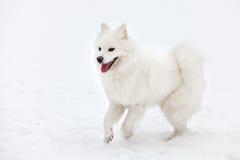 El perro blanco del samoyedo camina a través de la nieve Imagen de archivo libre de regalías