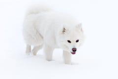El perro blanco del samoyedo camina a través de la nieve Fotos de archivo