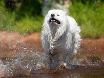 El perro blanco del samoyedo entre el agua salpica foto de archivo