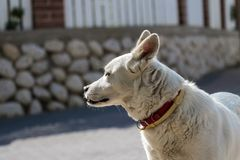 El perro blanco dio vuelta al lado y al oído que escuchaba Imagenes de archivo