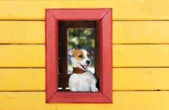 El perro blanco divertido mira fuera de la ventana de una casa amarilla del juguete imagenes de archivo