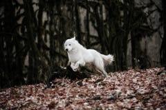 El perro blanco Maremma o Abrujie de la patrulla está corriendo en el bosque oscuro foto de archivo libre de regalías