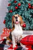 El perro bonito se sienta y sonríe cerca de árbol del Año Nuevo el Nochebuena Imagenes de archivo