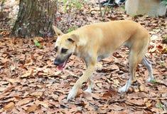 El perro caminó en las hojas secas Imagen de archivo libre de regalías