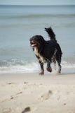 El perro camina en la playa Imagenes de archivo