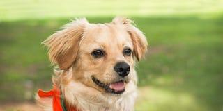 El perro casero mezclado feliz de la raza sonríe en hierba Fotos de archivo libres de regalías