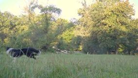 El perro coge la bola en el aire que el controlador de la muchacha, ejercicio al aire libre Tiroteo de la cámara lenta almacen de metraje de vídeo