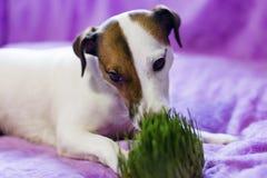 El perro come la hierba, fotos de archivo