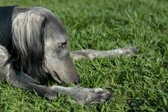 El perro come la hierba en el parque El galgo miente en la hierba en un día de verano soleado foto de archivo