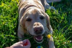 El perro come los dientes de león y la hierba, deficiencia de la vitamina, dieta equilibrada Labrador foto de archivo libre de regalías