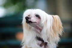 El perro con cresta chino Fotos de archivo