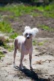El perro con cresta chino, perro calvo con cresta chino hermoso Señora del perro foto de archivo libre de regalías
