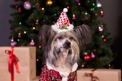 El perro con cresta chino lindo en un vestido de la víspera del ` s del Año Nuevo se está sentando cerca del árbol de navidad Ani Fotos de archivo libres de regalías