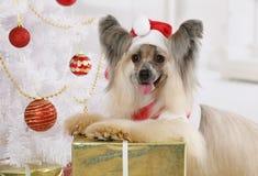 El perro con cresta chino precioso se vistió en un traje de la Navidad Foto de archivo libre de regalías