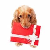 El perro con el presente hermoso Fotografía de archivo libre de regalías