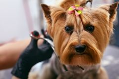 El perro consigue el pelo para cortar en el salón de la preparación del balneario del animal doméstico Primer del perro fotografía de archivo