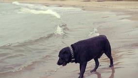 El perro corre en el agua en la playa en la caída, consiguiendo mucha felicidad de ella HD, 1920x1080, cámara lenta almacen de video