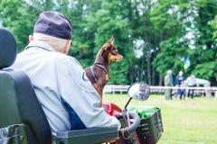 El perro cría el terrier de juguete ruso en las manos de un hombre que se esté sentando en un wheelchair_ imagen de archivo