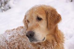 El perro cría un golden retriever que mira detrás, mintiendo alrededor y jugando en la nieve blanca fotografía de archivo