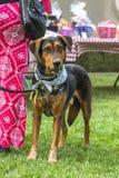 El perro curioso en el partido Foto de archivo libre de regalías