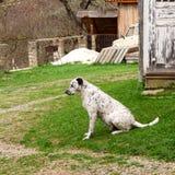 El perro dálmata es que se sienta y de reclinación abajo sobre la hierba Foto de archivo
