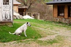 El perro dálmata es que se sienta y de reclinación abajo sobre la hierba Foto de archivo libre de regalías