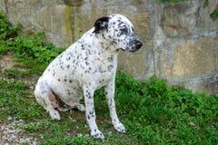 El perro dálmata es que se sienta y de reclinación abajo sobre la hierba Imagenes de archivo
