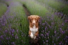 El perro da la pata Animal doméstico en los colores de la lavanda Imagen desde arriba Cara divertida foto de archivo