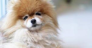 El perro da vuelta a la cabeza con la expresión que se pregunta almacen de metraje de vídeo