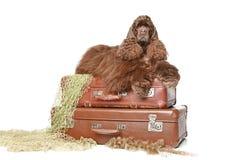 El perro de aguas de cocker americano miente en las maletas de la vendimia Imagen de archivo