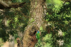 El perro de aguas de la moleta, un pájaro colorido Fotografía de archivo