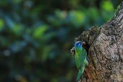 El perro de aguas de la moleta, un pájaro colorido Imagenes de archivo