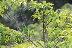 El perro de aguas de la moleta, un pájaro colorido Fotos de archivo libres de regalías