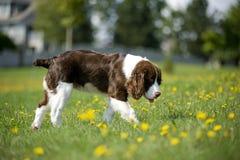El perro de aguas de saltador recorre en las margaritas Imagen de archivo