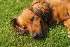 El perro de aguas mezclado persigue el perro de aguas foto de archivo libre de regalías
