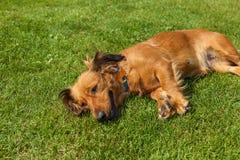 El perro de aguas mezclado persigue el perro de aguas fotos de archivo libres de regalías