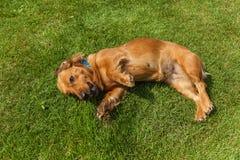 El perro de aguas mezclado persigue el perro de aguas fotografía de archivo