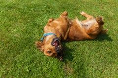 El perro de aguas mezclado persigue el perro de aguas imagenes de archivo