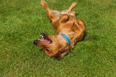 El perro de aguas mezclado persigue el perro de aguas fotos de archivo