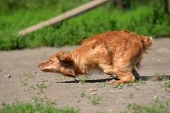 el perro de aguas rojo corre rápidamente fotografía de archivo