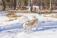 El perro de Akita del japonés camina en un bosque en el invierno a través de una nieve acumulada por la ventisca Fotografía de archivo