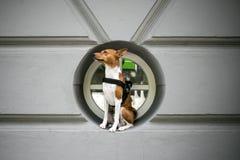 El perro de Basenji en arnés se sienta en ventana foto de archivo libre de regalías
