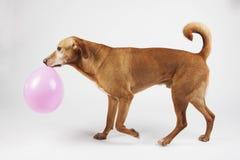 El perro de Brown camina con el globo rosado imágenes de archivo libres de regalías