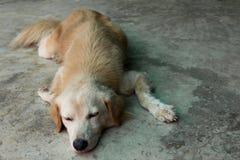 El perro de Brown coloca en el piso Fotos de archivo
