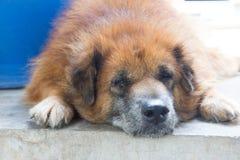El perro de Brown coloca en el piso Foto de archivo