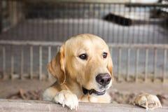 El perro de Brown se colocaba y espera sobre la jaula Foto de archivo libre de regalías