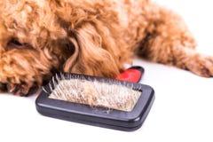 El perro de caniche después de cepillar con la piel detangled se pegó en cepillo Imagen de archivo