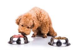 El perro de caniche elige la carne cruda deliciosa encima tritura como comida imagenes de archivo